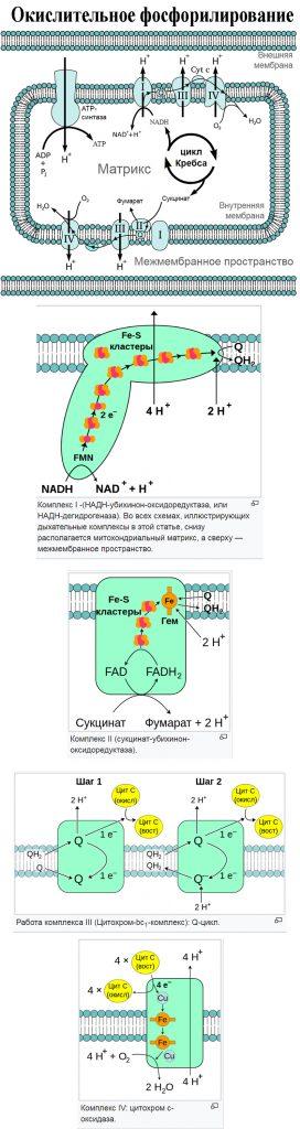 Окисли́тельное фосфорили́рование