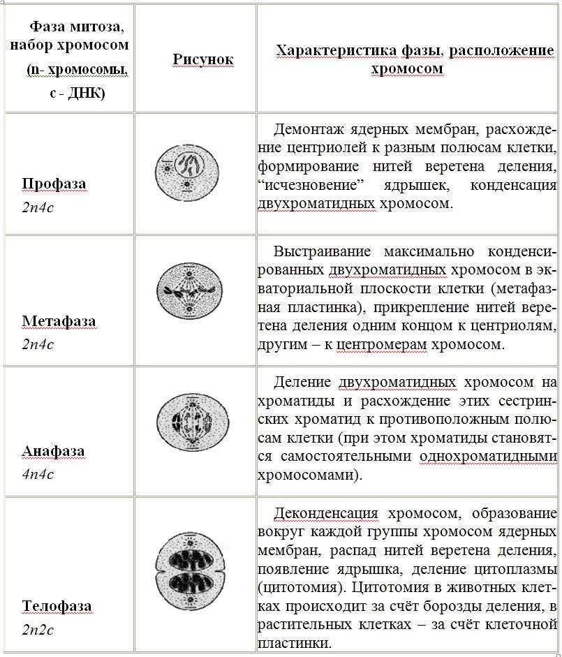 Таблица фаз миоза