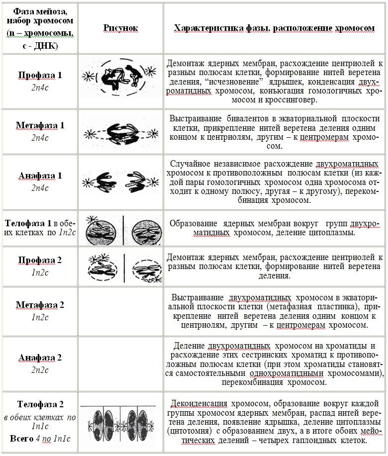 Периоды клеточного цикла таблица