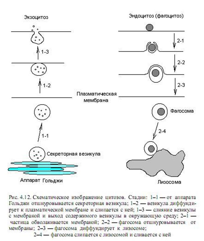 ege-biologiya-a3